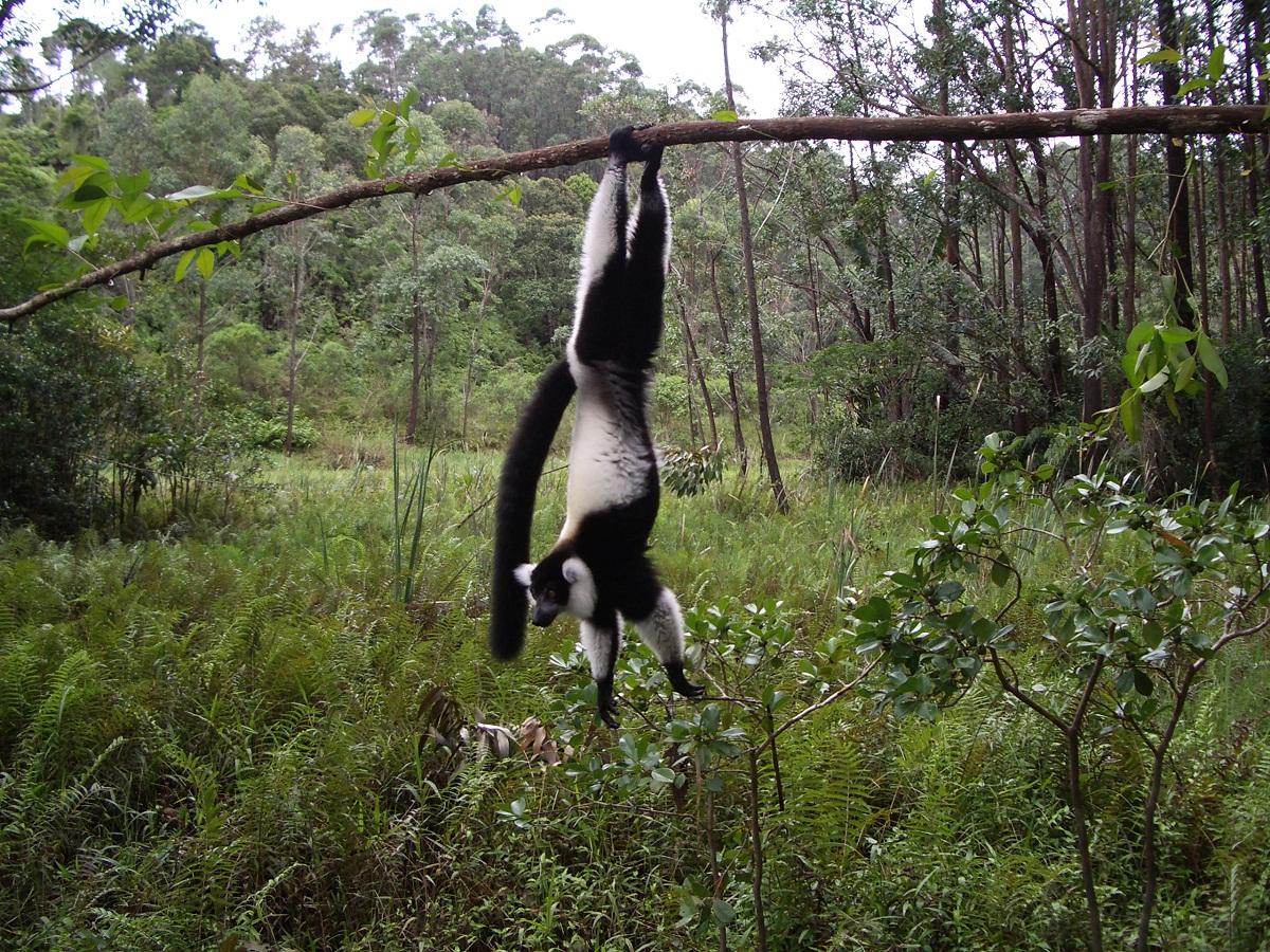 Schwarzweiße Varis leben im Regenwald in Ost-Madagaskar. Sie können eine Kopfrumpflänge von 60cm erreichen, ihr Schwanz wird auch bis zu 60cm lang und ihre Lebenserwartung liegt zwischen 10 und 15 Jahren.